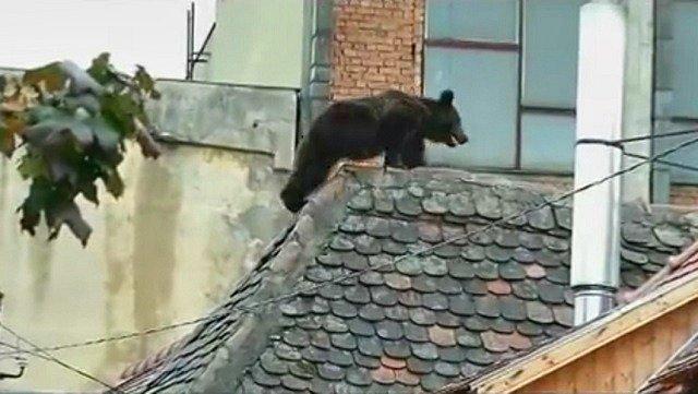 Megközelítően még 5-6000 barna medve él Románia erdeiben