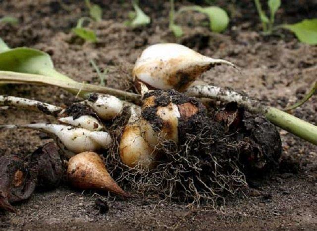 Június van: Itt az ideje kiásni a tulipán hagymákat!