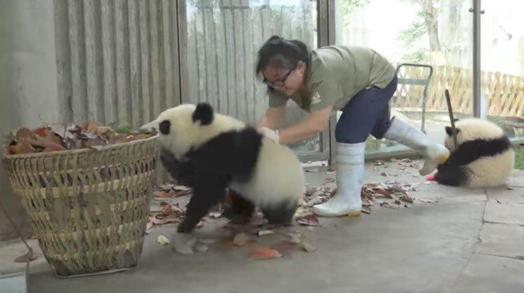 A csintalan pandakölyök mindent megtesz, hogy gondozója ne tudjon takarítani