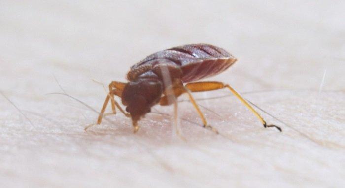 A rovar, ami vérszegénységet is okozhat!