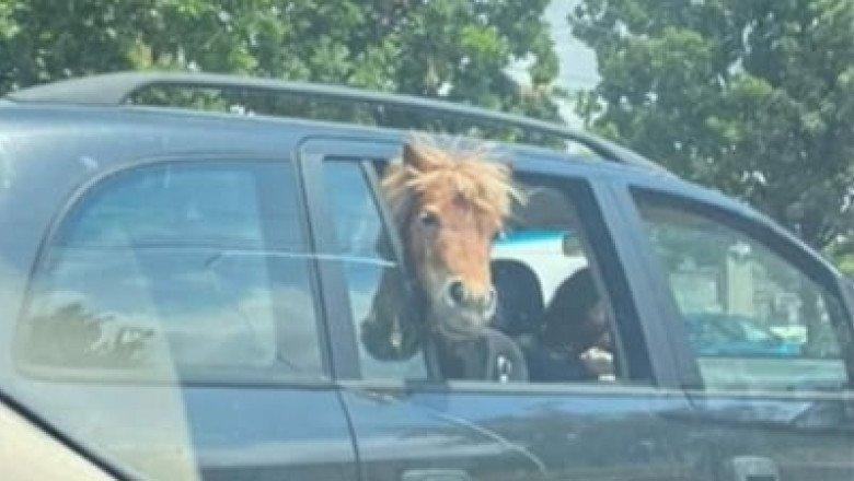 Pónilóval utaztak az autóban: az állat békésen nézett kifele az ablakon